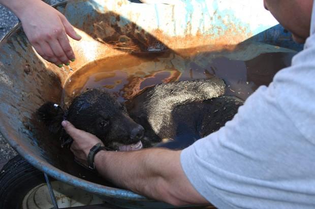 Animal foi tranquilizado e bombeiros conseguiram cortar o pote preso ao animal (Foto: NJ Department of Environmental Protection/AP)