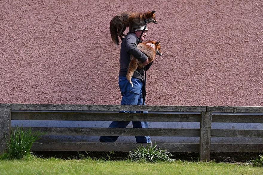 As raposas gostam de passear nos ombros de Gibbons (Foto: Reprodução)