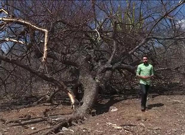 A falta de chuva é a principal causa pela morte dos umbuzeiros (Foto: Reprodução/TV Grande Rio)
