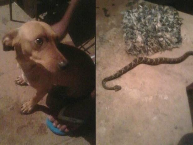 Cachorro salva dono, mas é picado por cobra, em Goiânia, Goiás (Foto: Danilo Martins/Arquivo Pessoal)