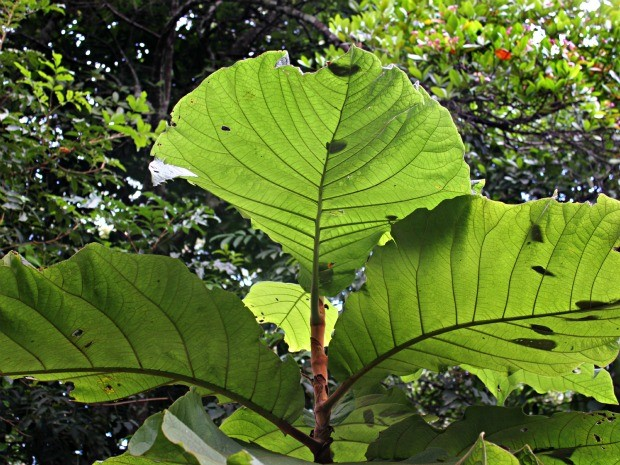Árvore foi encontrada pela primeira vez em 1982, em Borba (Foto: Tiago Melo/G1 AM)