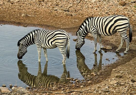 Duas zebras bebem em um ponto de água de Halali, no leste do Parque Nacional Etosha  (Foto: © Haroldo Castro/ÉPOCA)