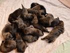 Cachorra dá à luz 17 filhotes na Alemanha