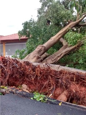 Força do vento tombou árvore no Conjunto Habitacional Ana Jacinta (Foto: Paulo Eduardo da Silva/Cedida)