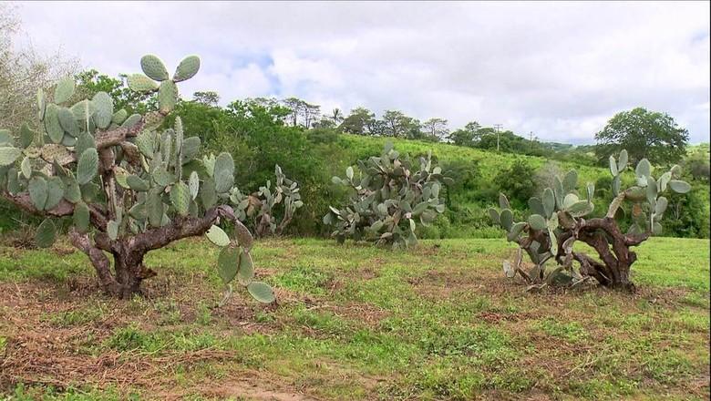 fungo-palma (Foto: Reprodução/TV Globo)