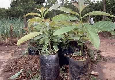 como_plantar_abacate (Foto:  )