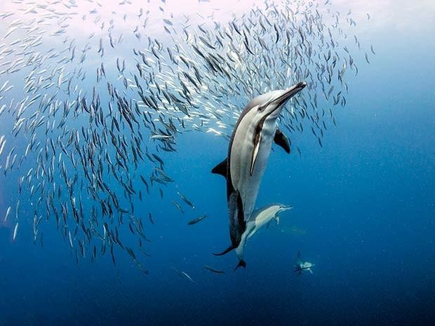 Durante a corrida das sardinhas, golfinhos soltam bolhas de ar para brecar os peixes e atacá-los (Foto: Daniel Botelho)