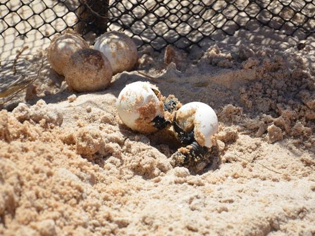 """""""A taxa de sobrevivência começa a diminuir após a entrada na água. Apenas uma ou duas tartarugas, em cada mil, conseguem chegar na fase adulta"""", disse Rita. A bióloga disse que 108 ninhos já apresentaram os nascimentos, faltando apenas 29 para o fim da temporada de cria das tartarugas. (Foto: Walter Paparazzo/G1)"""