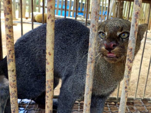 Polícia Ambiental do Espírito Santo disse que o gato-mourisco está em risco de extinção.  (Fot Divulgação/ Polícia Militar Ambiental)