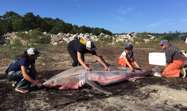 Segundo perito, não havia sinais de trauma no exterior ou interior do tubarão (Foto: Reprodução/Facebook/Atlantic White Shark Conservancy)