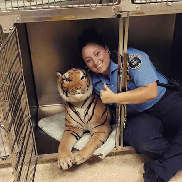 Agente Rachel Jensen brinca com o tigre de pelúcia (Foto: Reprodução/Facebook/Kent County Animal Shelter)