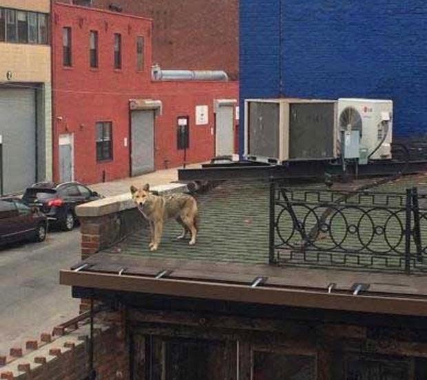 Coiote foi flagrado no telhado de um bar em Long Island, (Foto: Reprodução/YouTube/CBS New York)