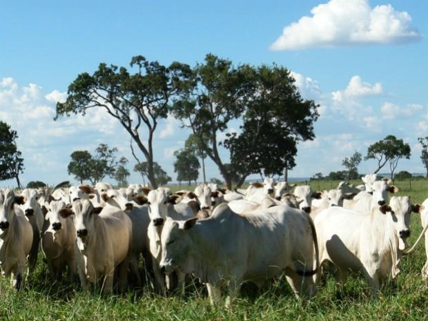 Sistema de Integração Lavoura-Pecuária (ILP) São Mateus, desenvolvido pela Embrapa Agropecuária Oeste (Foto: Armindo Kchel/Embrapa Agropecuária Oeste)