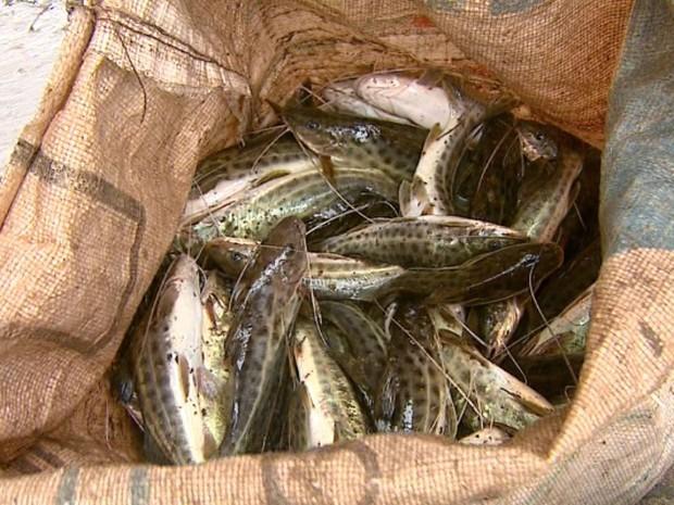 Moradores levam peixes que aparecem mortos às margens do Rio Mogi em Porto Ferreira, SP (Foto: Paulo Chiari/EPTV)