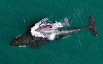 Proteção a baleias