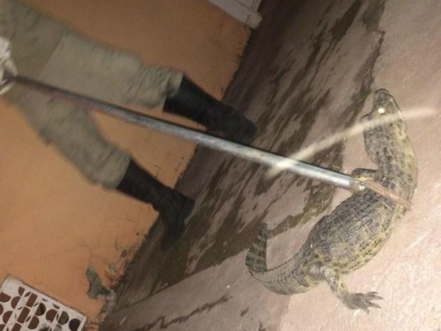 Jacaré foi capturado em quintal de residência em Ladário (MS) (Foto: Corpo de Bombeiros/Divulgação)