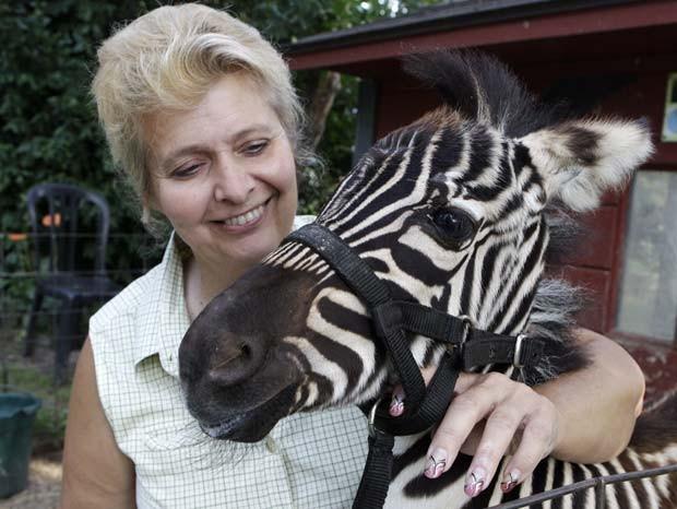 A norte-americana Cindy Huntsman mantém vários animais de estimação exóticos em uma propriedade em Massillon, no estado de Ohio (EUA). Cindy conta, por exemplo, com zebra, píton, puma e dois tigres como bichos de estimação (Foto: Mark Duncan/AP)