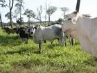 MPF quer explicações sobre controle sanitário após 'vaca louca' em MT