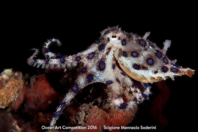 Scipione Mannacio Soderini faturou a categoria 'macro sem espelho' do Ocean Art Content (Foto: Scipione Mannacio Soderini/Ocean Art Contest )