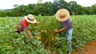 Produção de soja ocupa cada vez mais espaço nas lavouras do RS e SC