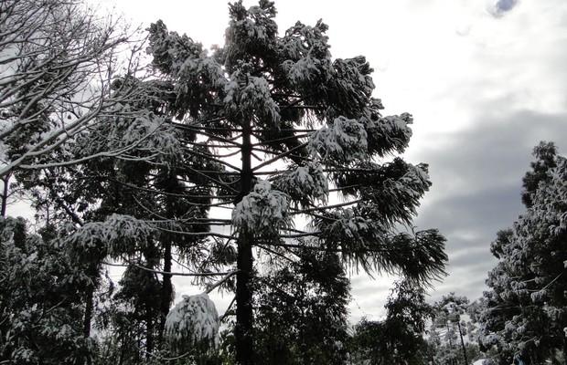 araucaria grande (Foto: Elcio Glovacki )