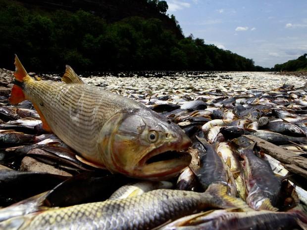 Peixes mortos são encontrados no Rio Piracicaba (Foto: Mateus Medeiros)