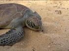 Tartaruga verde é solta no mar de Vitória após retirada de tumor