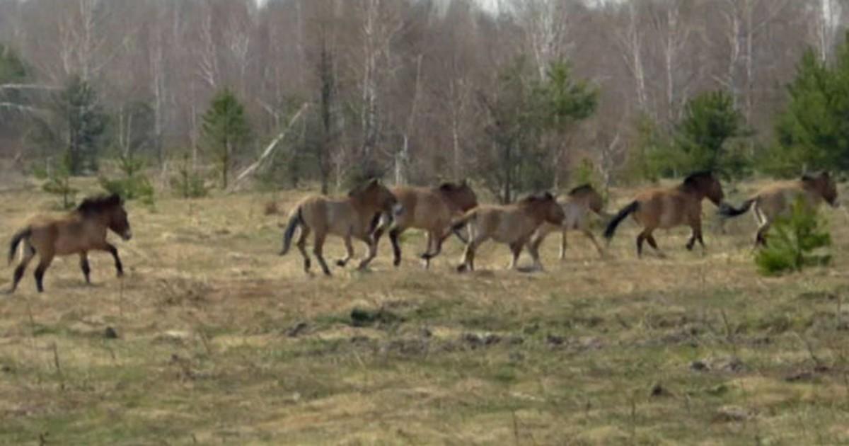 Chernobyl: De zona proibida a paraíso da vida selvagem