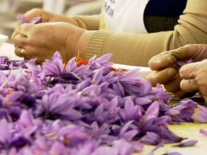 Trabalhadores rurais colhem planta por planta para produzir açafrão (Foto: Rede Globo)