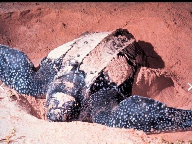 Tartaruga desovou há 55 dias na praia do Peró, em Cabo Frio (Foto: Divulgação/Prefeitura de Cabo Frio)
