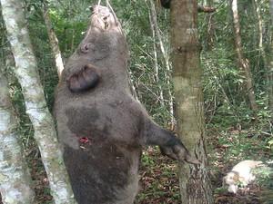 Pará de Minas, Javali, caçador (Foto: G1/G1)