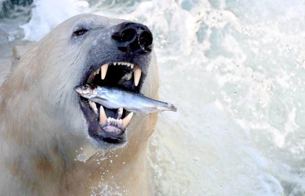 O fotógrafo Julian Stratenschulte flagrou em fevereiro deste ano o exato momento em que um urso polar devorava um peixe no jardim zoológico de Hanover, na Alemanha. (Foto: Julian Stratenschulte/AFP)