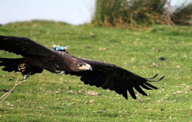 """Cossak, um exemplar de águia-das-estepes usa uma espécie de """"caixa-preta"""" nas costas para registrar informações sobre o voo, que ajudaram no experimento (Foto: Graham Taylor/Oxford University/AFP)"""