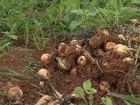 Clima prejudica produção de cebola em Capão Bonito