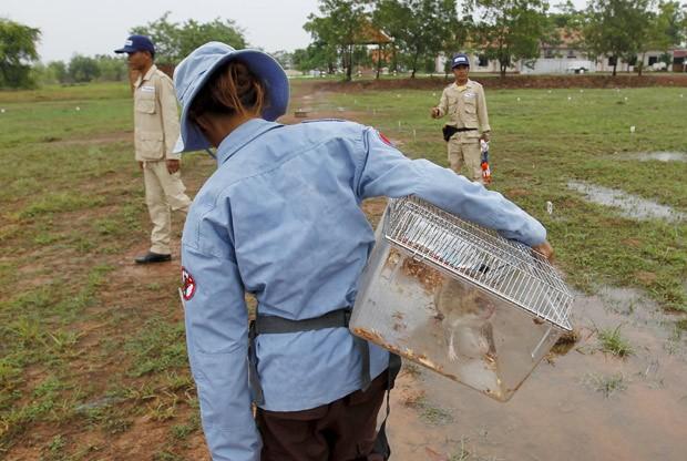 Ratos são treinados desde 4 semanas de idade para identificar minas e bombas pelo cheiro  (Foto: Reuters/Samrang Pring)
