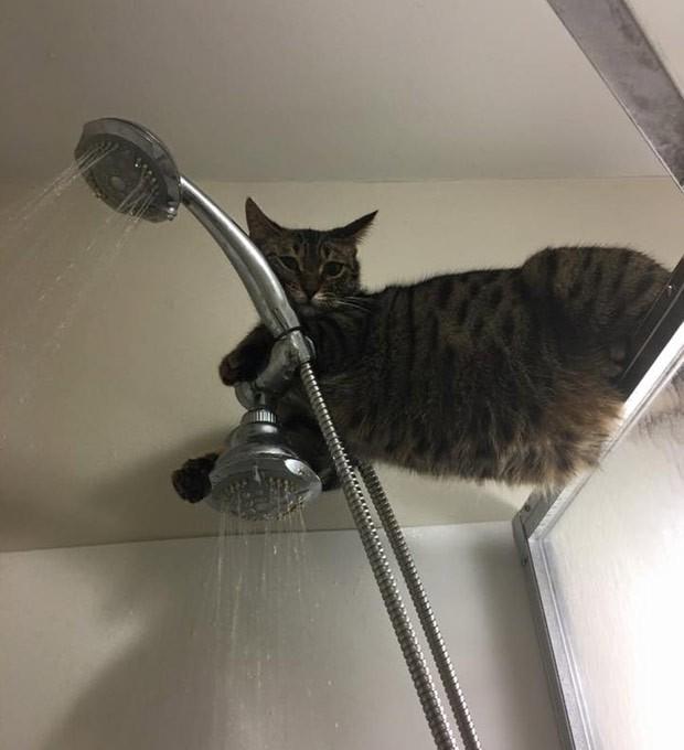 Gato com 'medo de banho' se refugiou em cima de chuveiro e virou hit na web (Foto: Reprodução/Imgur/AredLion)