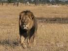 Caçador americano é acusado por morte de leão no Zimbábue