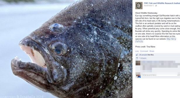 Peixe fisgado na Flórida (EUA) chamou atenção por ter um olho em cima da cabeça (Foto: Reprodução/Facebook/Florida Fish and Wildlife Conservation Commission)