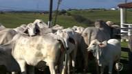 Saiba mais sobre o gado Tabapuã