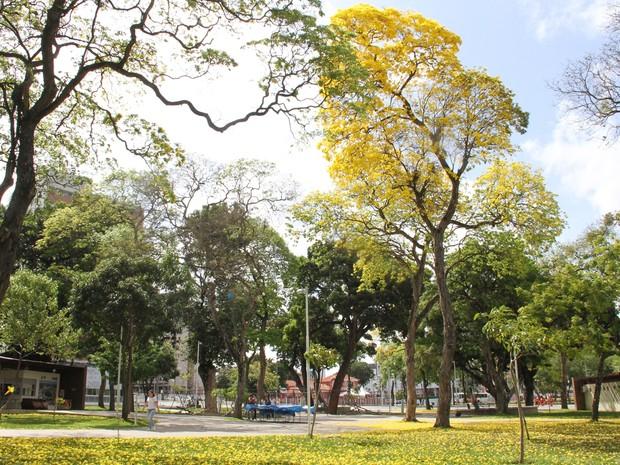Ipê amarelo florescido no Parque Solón de Lucena, no Centro de João Pessoa, em dezembro de 2016 (Foto: Diogo Almeida/G1)