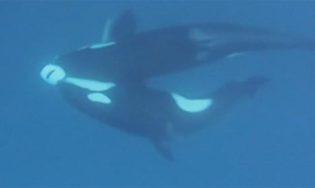 Orcas foram filmadas atacando e matando tubarão-tigre  (Foto: Reprodução/YouTube/Barcroft)