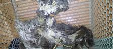 Três preguiças são achadas amarradas (Batalhão Ambiental/Divulgação)