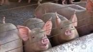 Bons resultados unem granjas de suínos e cultivo de lavouras