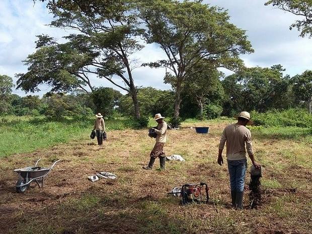 Plantio de mudas de espécies nativas no Pantanal de Mato Grosso do Sul (Foto: Gustavo Menezes/Embrapa Pantanal)