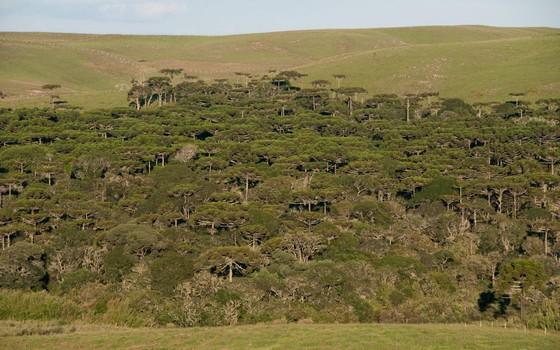 Campos naturais e um fragmento de floresta com araucárias em Palmas, no Paraná (Foto: Zig Koch - divulgação)