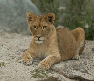 Uma das duas leoas do Zoológico de Copenhagen (Foto: Divulgação / Zoológico de Copenhagen)