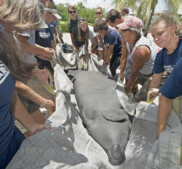 A manati fêmea Jasmine é transportada para a água por especialistas em mamíferos aquáticos. (Foto: AP)