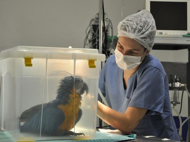 Cirurgia foi realizada com sucesso, mas ave acabou não resistindo (Foto: Gelsoli Casagrande/UPF)