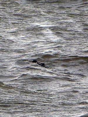 Jacaré Lagoa dos Patos Praia do Laranjal Pelotas RS (Foto: Brigada Militar/Divulgação)