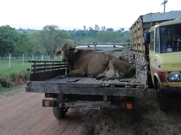 Animal é recolhido de frigorífico de Nhandeara (Foto: Fotos Cedidas Polícia Ambiental)